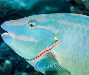 Underwater photography - Parrot Fish