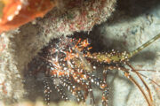Underwater photography - Lobster