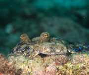 Bonaire Diving - Flounder