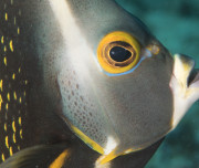Bonaire diving- Angel Fish