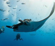 Underwater photography workshop - Manta
