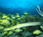 Bimini diving - Trumpet Fish