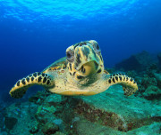Bimini diving Turtle