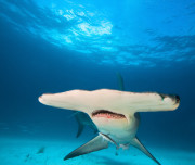 Bimini diving - Shark