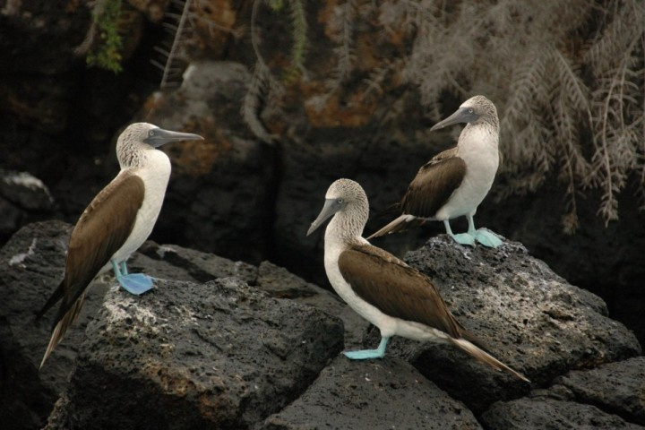 3 Boobies in the Galapagos