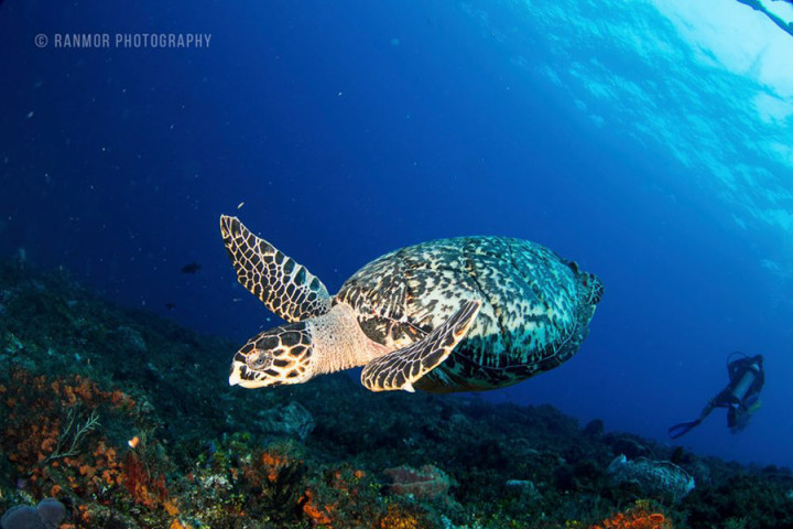 Cozumel diving - Turtle