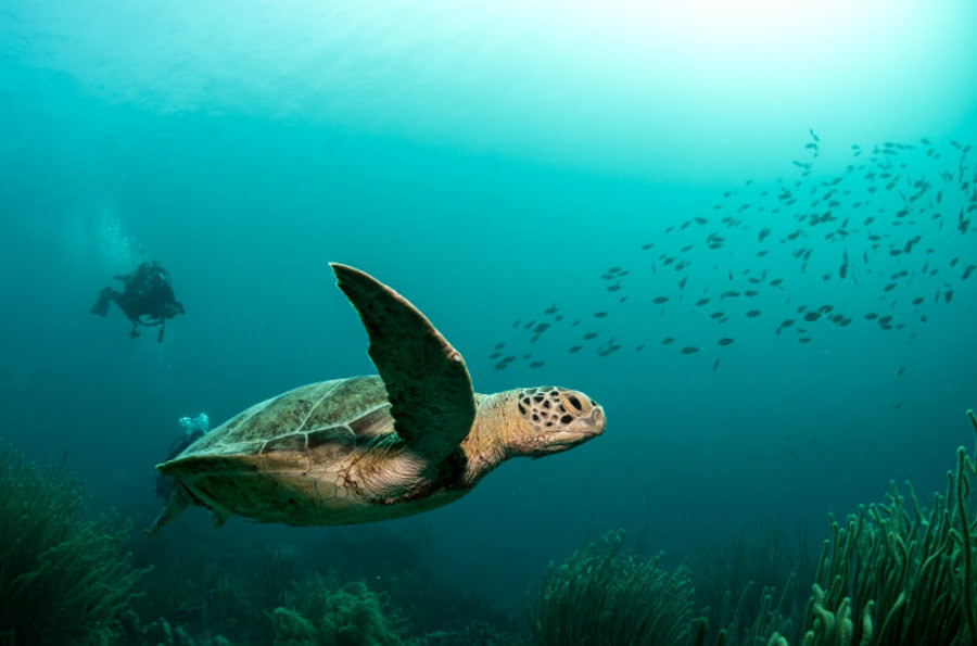Bonaire diving - Turtle