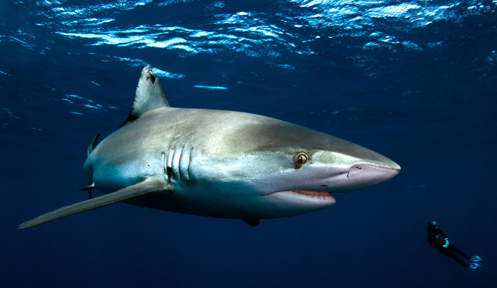How to Spot a Tiger Shark