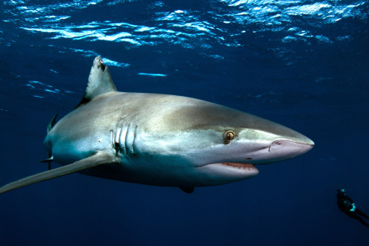 Big Galapagos Shark