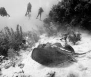 Sting Ray and divers