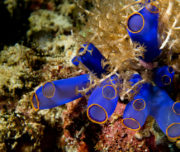 Blue coral macro Philippines
