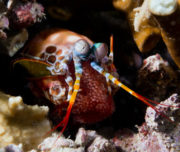 Mantis shrimp protecting eggs