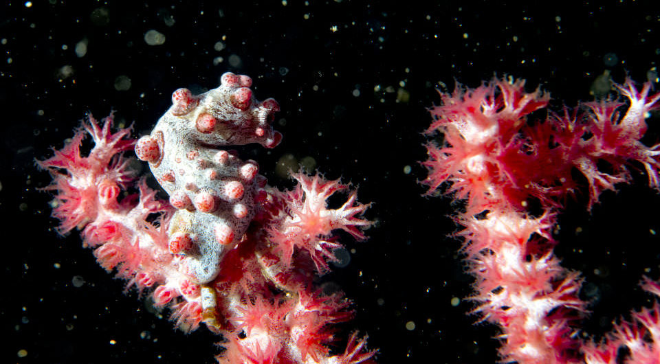 Pigmy sea horse black background