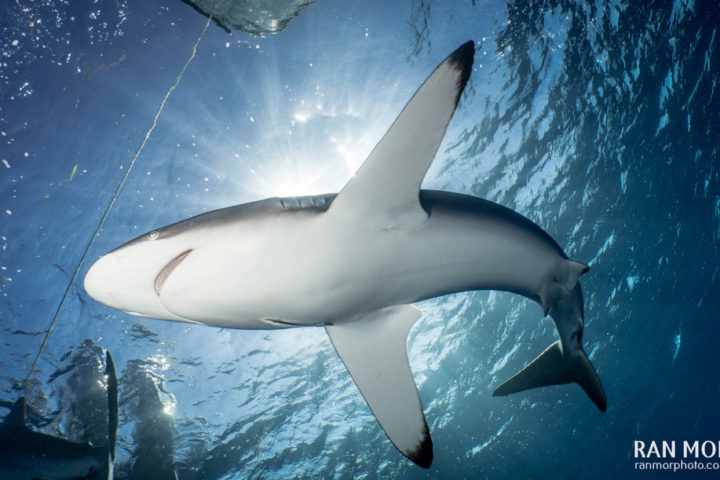 Silky Shark - Gardens of the Queen