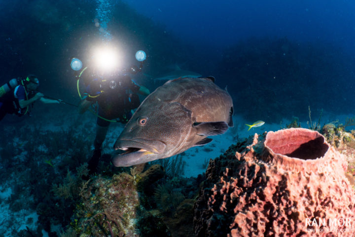 Diver and Grouper Gardens of the Queen