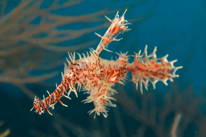 Ghost Pipefish Maldives