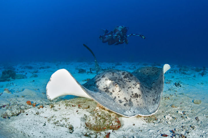 Sting Ray Maldives diving