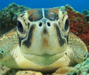 Sea Turtle looking at the camera