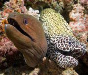 Moray Eels Maldives diving
