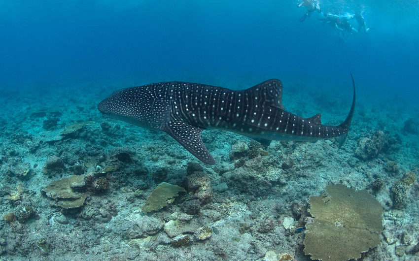 Whaleshark Swimming in the Maldives