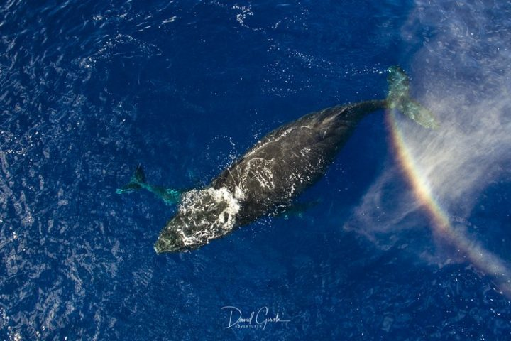 Tonga swimming with Whales