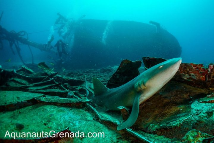 Shark and wreck Grenada