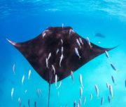 Big Manta Ray swimming
