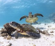 two sea turtles swimming in Western Australia