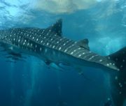 Diving with whale sharks - Western Australia