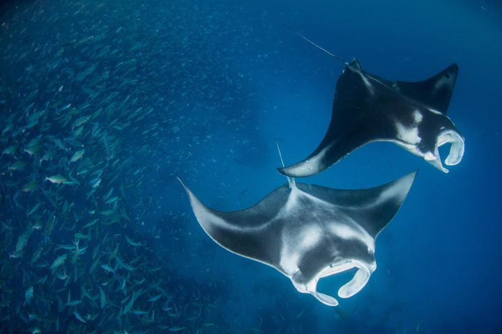 manta ray German Channel palau Enric Sala
