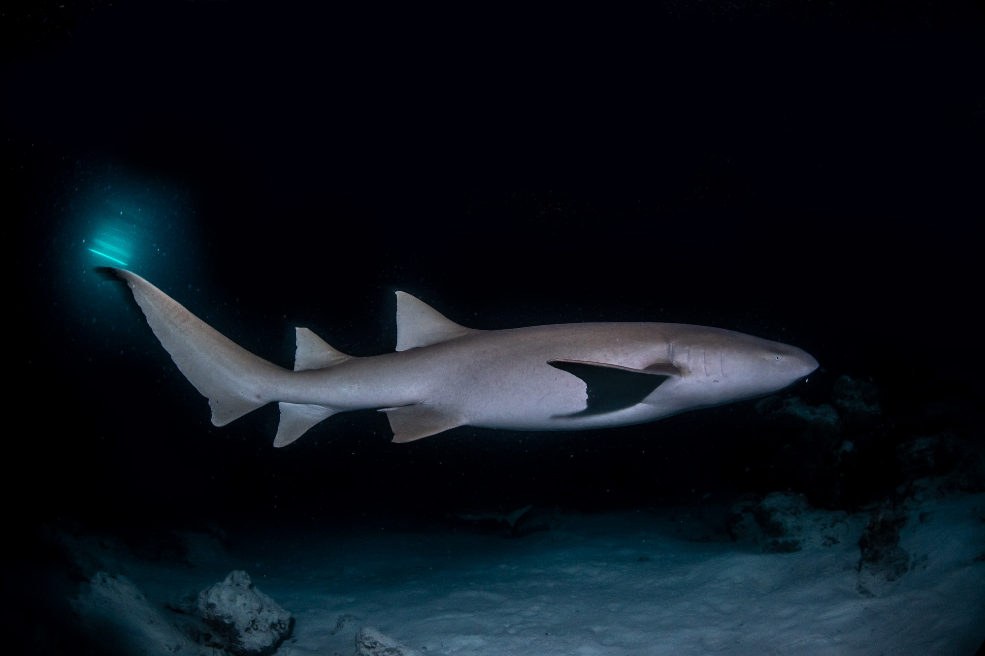 Shark sighting while on a night dive in the Maldives.
